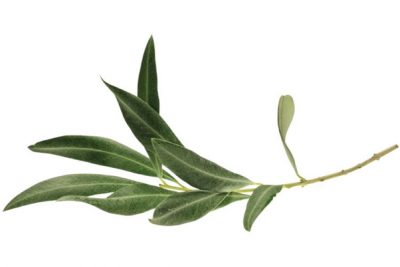 6 Incredible Healing Benefits of Olive Leaf