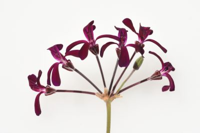 Why Pelargonium is the Perfect Plant